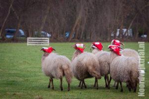 En dan hebben je schapen opeens kerstmutsen op!!!