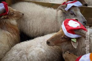 Kerstschapen